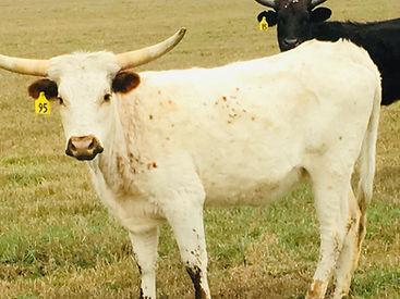 cow (1).jpg