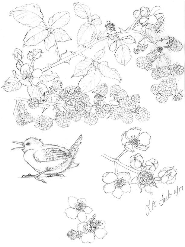 Blackberry Bird Study