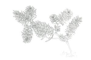Evergreen Branch