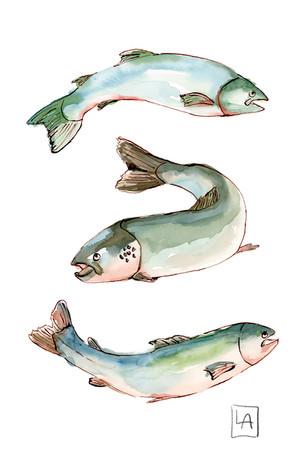 Salmon Swimming