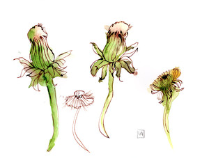 Danelion Seeds