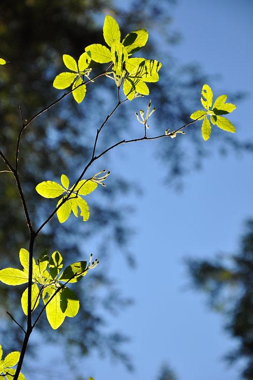 Sunlit Leaves - Canvas/Prints