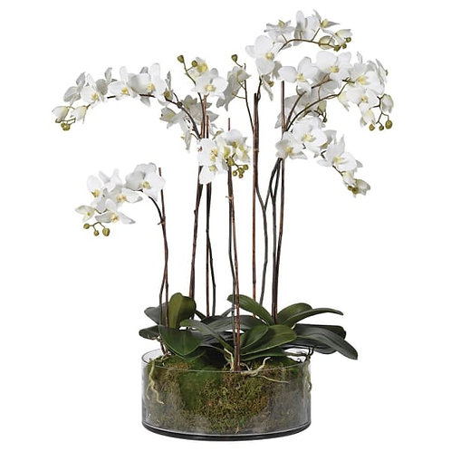 White Orchid Pretty Phalaenopsis Plants with Moss in Shallow Glass Cylinder Bow