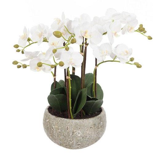 Phalaenopsis in Clay Pot 47cm