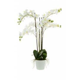 Phalaenopsis x6 in white pot