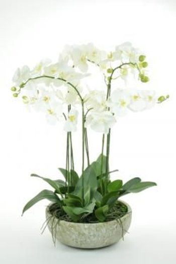 Exquisite Potted Orchid Large