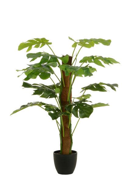 Split Philo Tree w/Pot 80cm