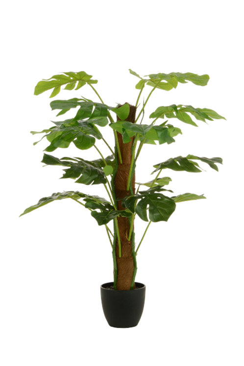 Split Philo Tree w/Pot 80cm