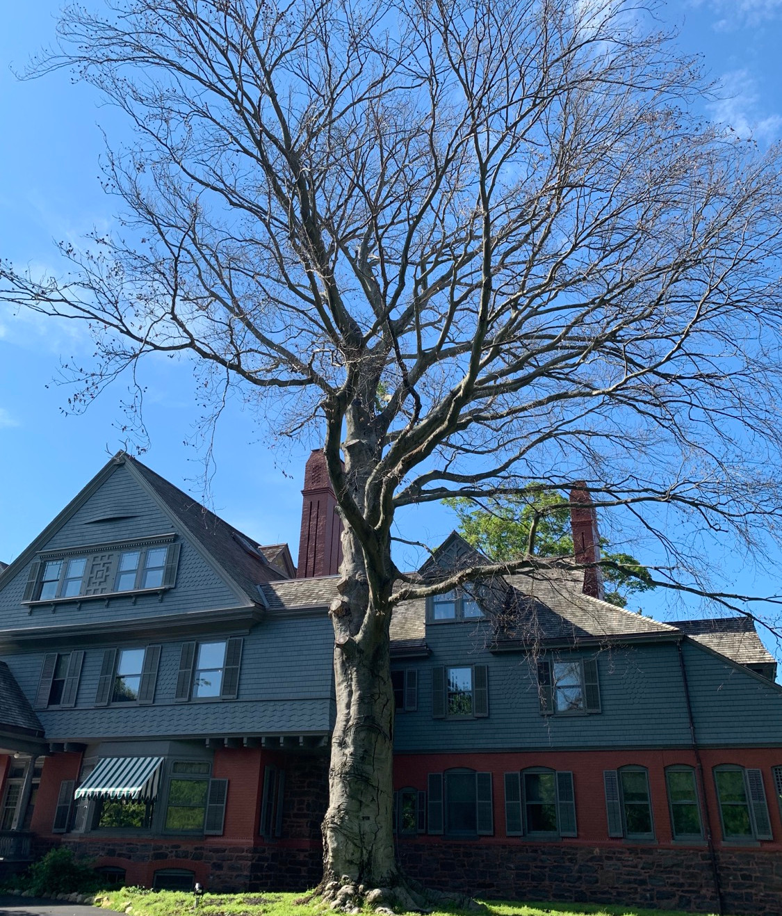 The tree planted by Teddy in 1898, which will be removed this year, due to its death.