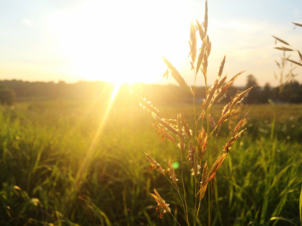 sunrise shining over a field of grass
