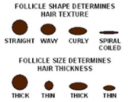 shape of folicle