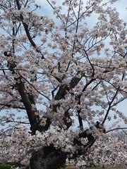 桜と死、そしてボーイズラブ