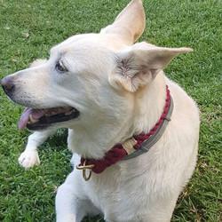 קולר אדום על כלבלב חמוד