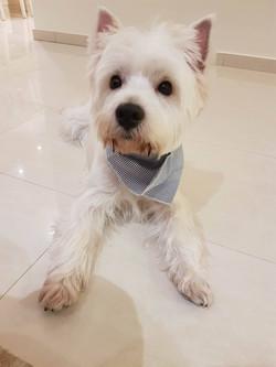כלב עם בנדנה כחולה