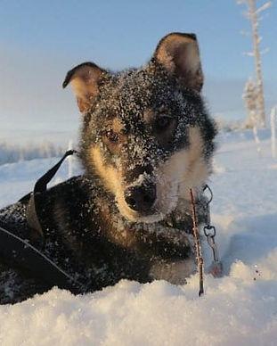 Huskies-Yellow Snow-Husky-Tours-swedish-