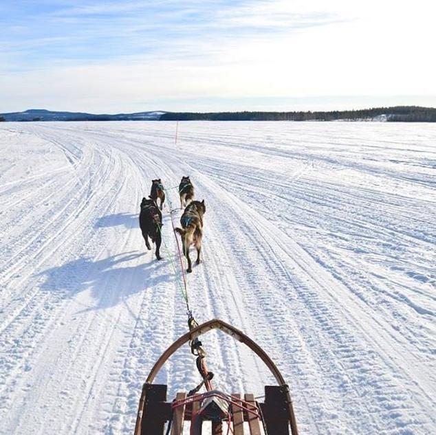 Swedish-lapland-Huskies-Northern-Soul-Jo