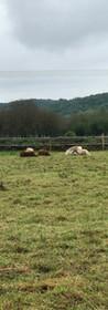 Les poneys se reposent