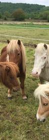 Réunion des poneys