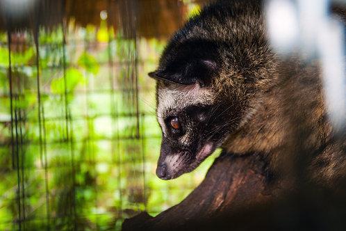 麝香貓 (Civet) - 10ml