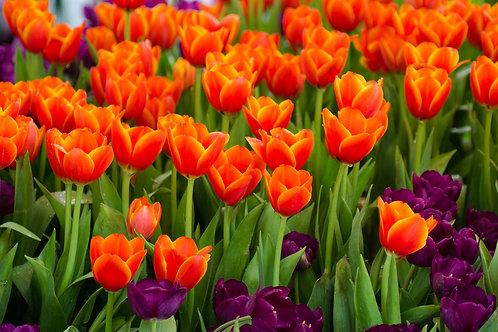 鬱金香 (Tulip) - 10ml