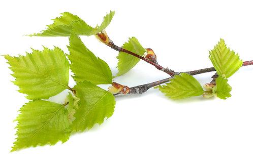 白樺葉 (Birch Leaf) - 10ml