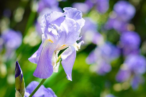 鳶尾花 (Iris) - 10ml