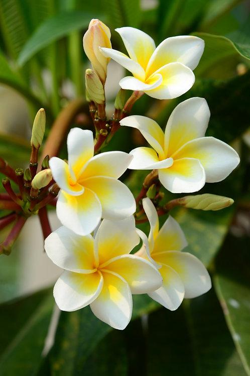 雞蛋花 (Frangipani) - 10ml