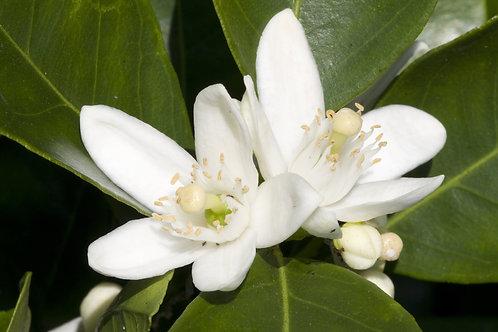橙花 (Neroli) - 10ml
