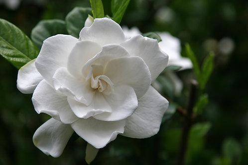 梔子花 (Gardenia) - 10ml