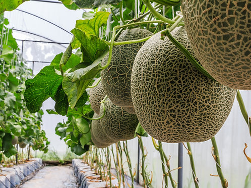 哈密瓜 (Dewfruit) - 10ml