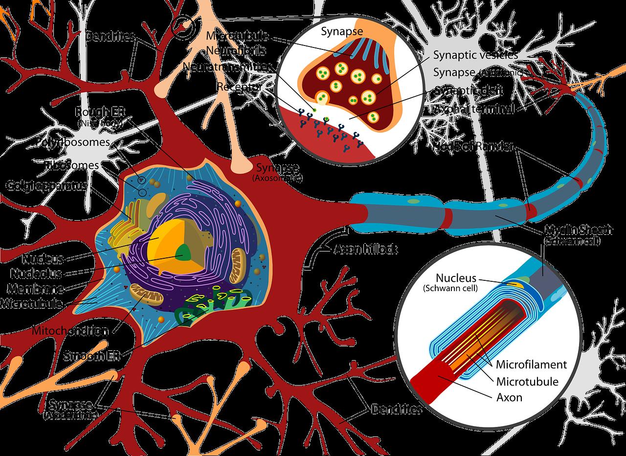 Curamus Heilpraktikerausbildung Nervenzelle