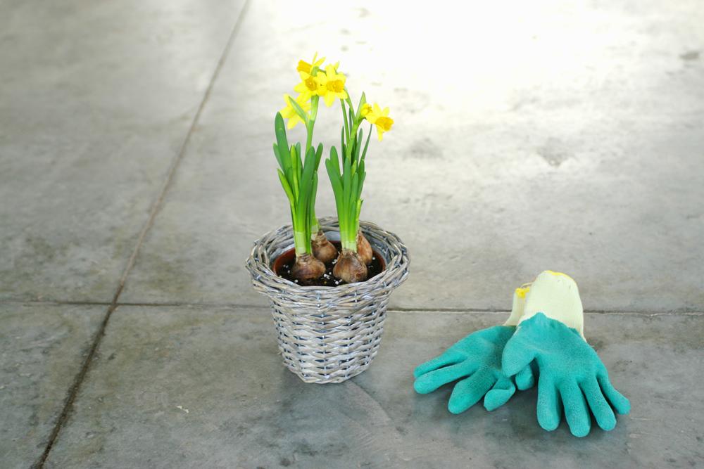 Alanya Çiçekçi Nergis soğanları