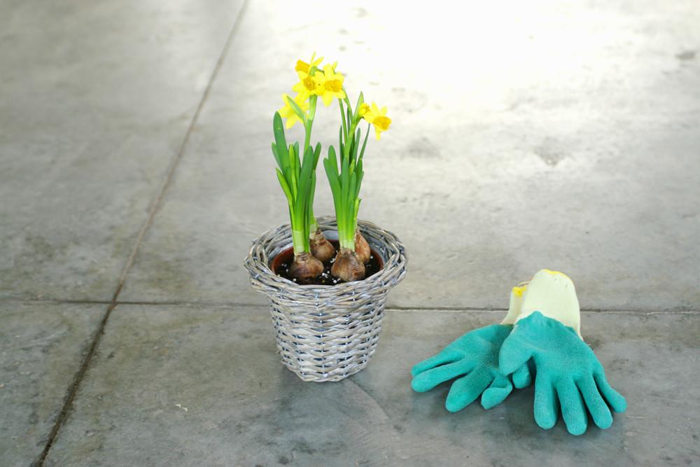 Daffodil bulbs in basket