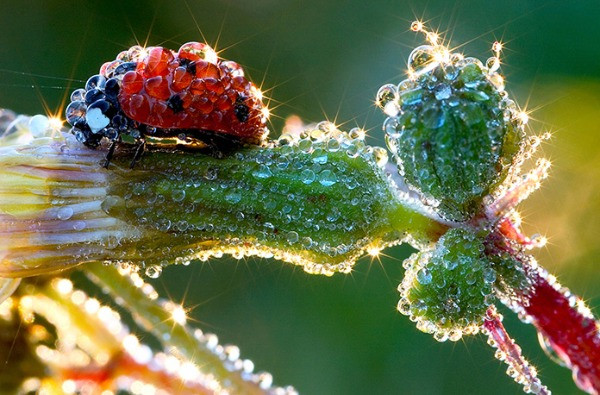 Ladybug on flower covered with dew