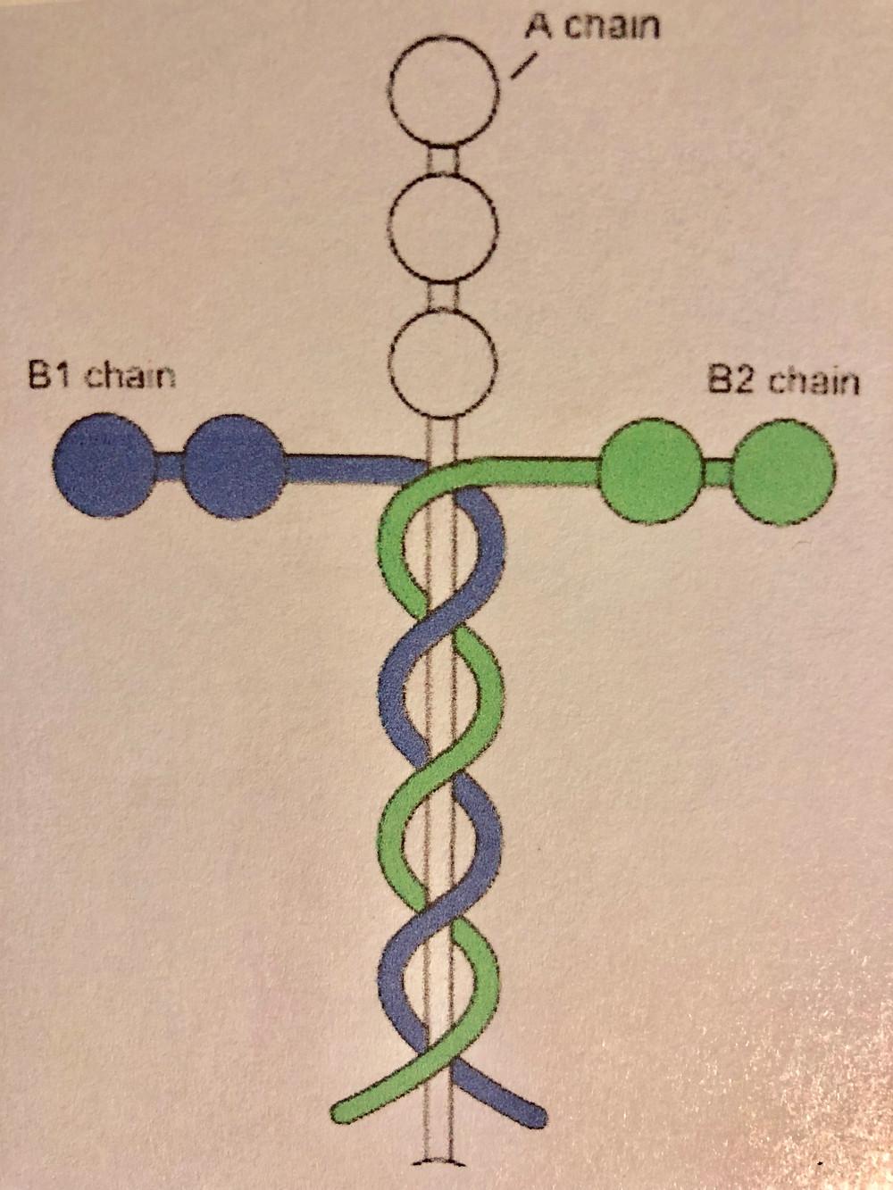 Drawing of a laminin, cell adhesion molecules.