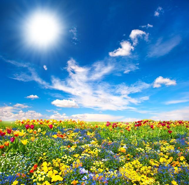 Blue sky, sun, feathery clouds, field of flowers