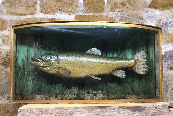 Mounted Trout in curved glass cabinet.
