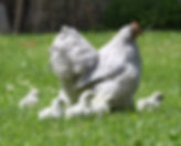 chicken with chicks.jpg