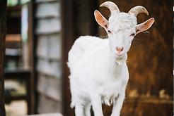 livestoc goat.png