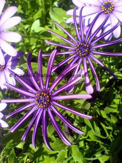 malibu flowers