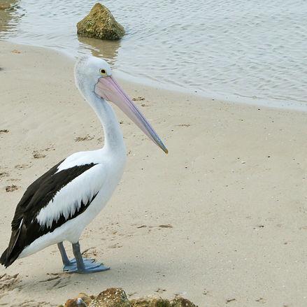 Kangaroo island Pelican at Baudin Beach.