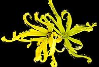 ylang fleur fine.png