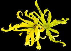 ylang fleur fine
