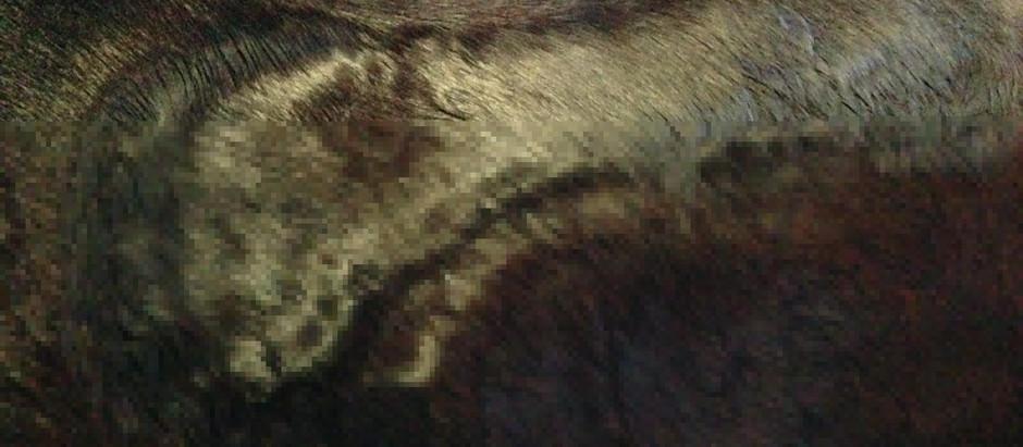De doorbloeding van het paardenlichaam, wat betekent dit voor de training van het paard?