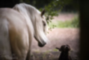 spanisches Pferd, Pferde Wustermark