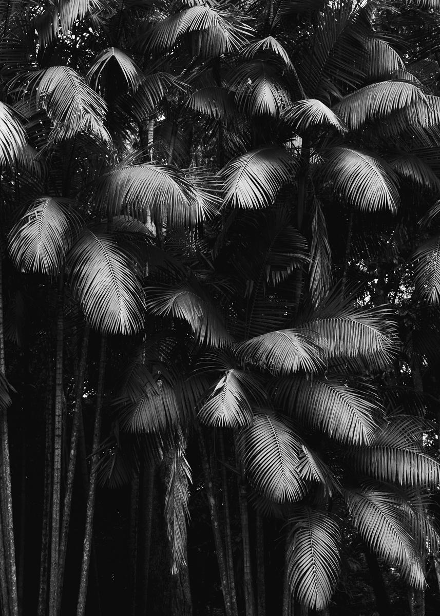 Palmeira II