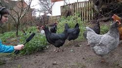Interviewing Chickens