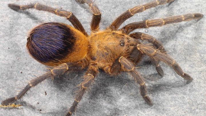 Pseudhapalopus sp. 'Colombia'