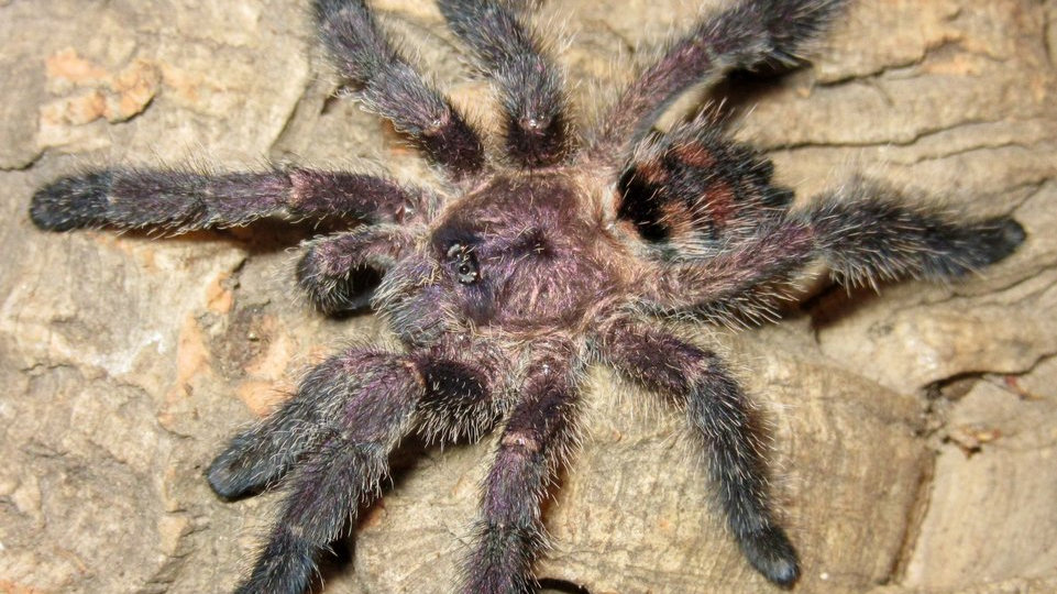 Avicularia sp. 'Colombia'