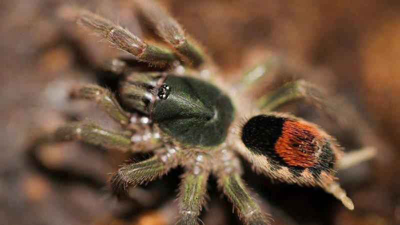 """Neostenotarsus sp. """"Suriname"""""""